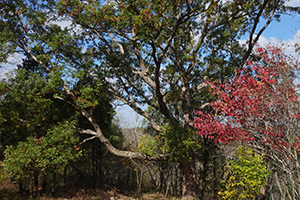 majestic oaks and spontanous                                       groups of flowering dogwood