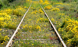 California poppies along Chilean tracks