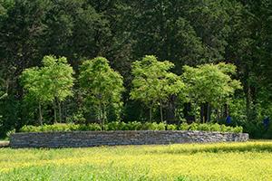 Kentucky Coffee Tree rondel