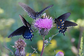 pipevine swallowtail on Cirsium muticum