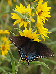 black swallowtail on sunflower at                           Montgomery Farm